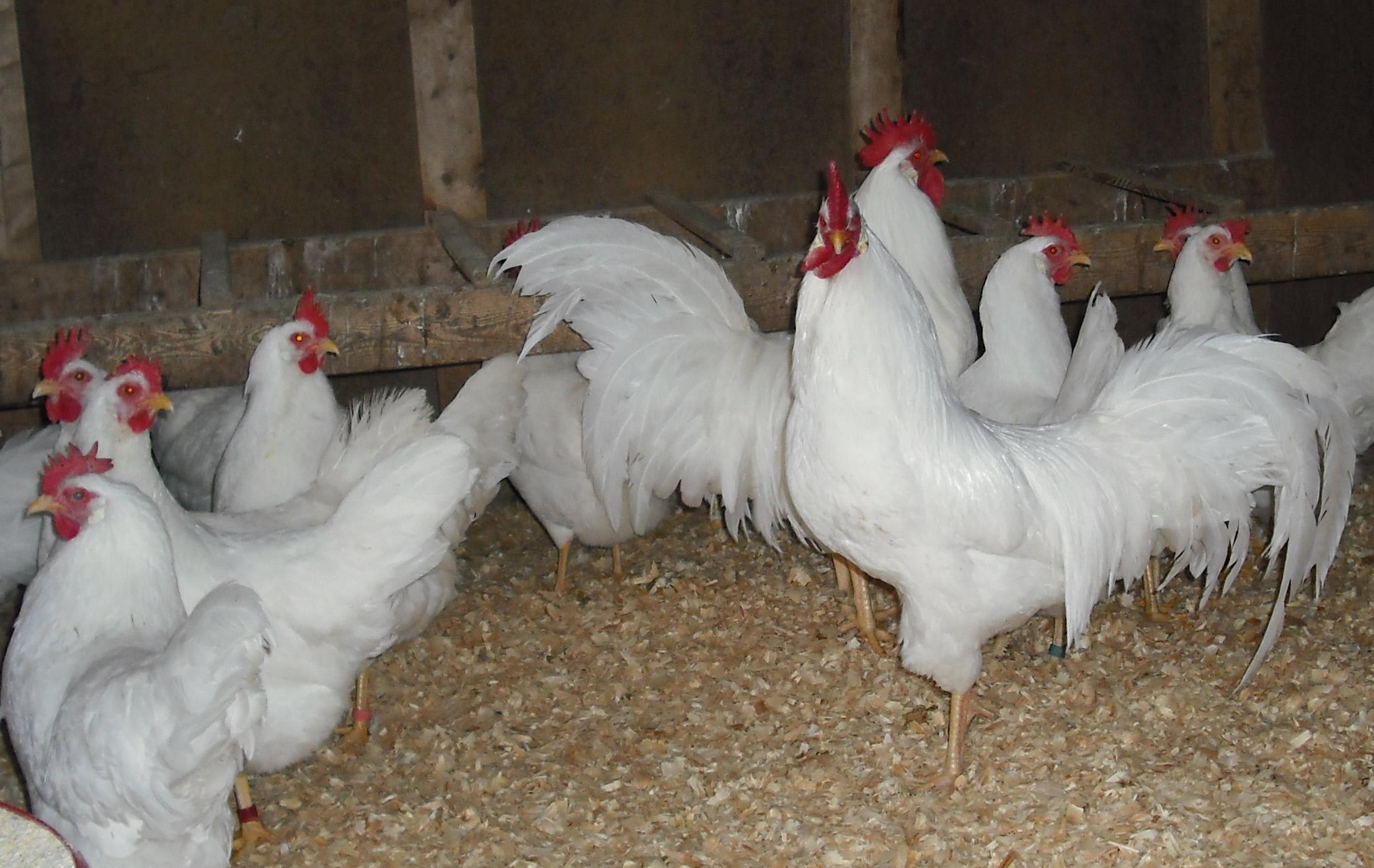 18 Plus White Leghorn Hatching Eggs