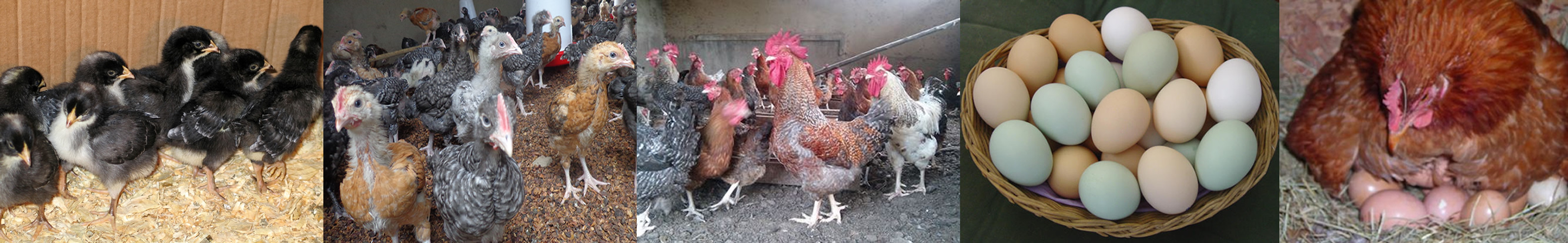 Ziwani Poultry Farming in Kenya - Ziwani poultry KARI, Kuroiler, Kienyeji chicks and fertile hatching eggs for sale to promote indigenous poultry farming in Kenya