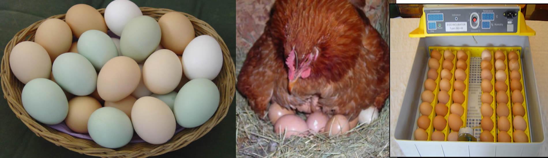 fertile kienyeji eggs