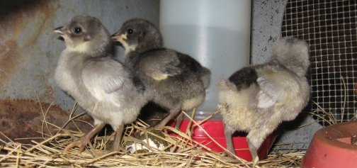 Kienyeji Chicks - 1 week old Image