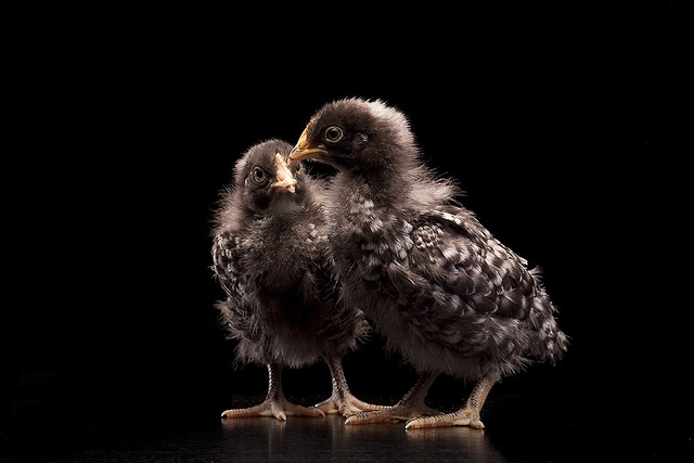 KARI chicks - 2 Weeks old Image