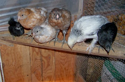 Kienyeji chicks - 4 Week old Image
