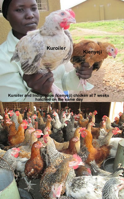 Kuroiler chicks