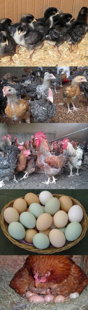 Ziwani Poultry Farming in Kenya