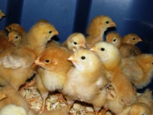 Kenbro chicks for sale in kenya | Ziwani Poultry
