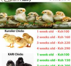 chicks price