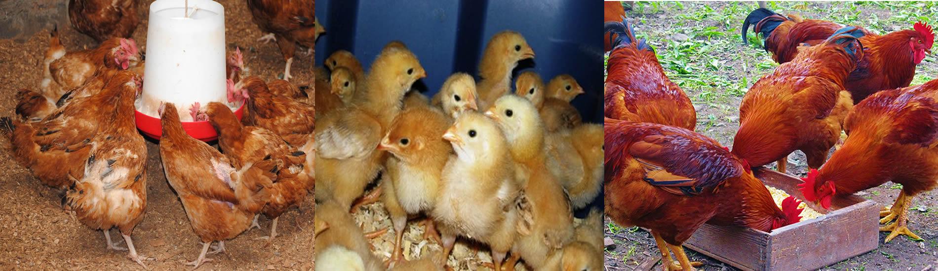 kenbro chicks - Ziwani Poultry