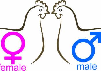 Sexing Kienyeji chicks