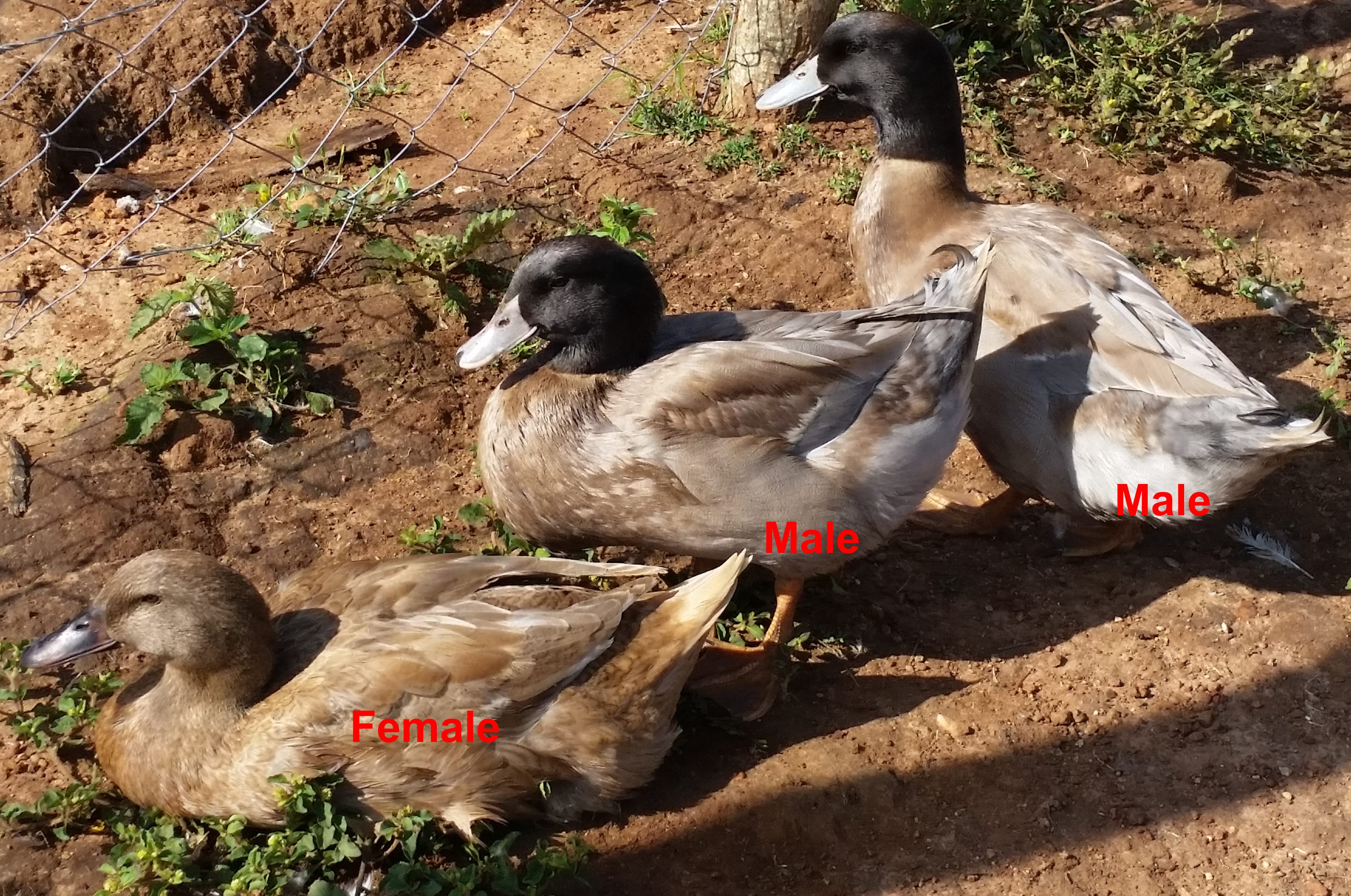 Khaki Campbell Duck In Kenya Ziwani Poultry