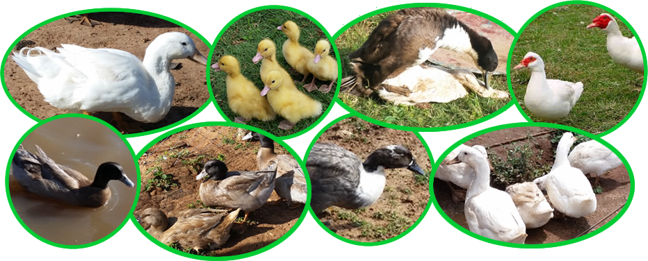 Duck Breeds in Kenya