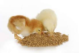 chicks-feeding