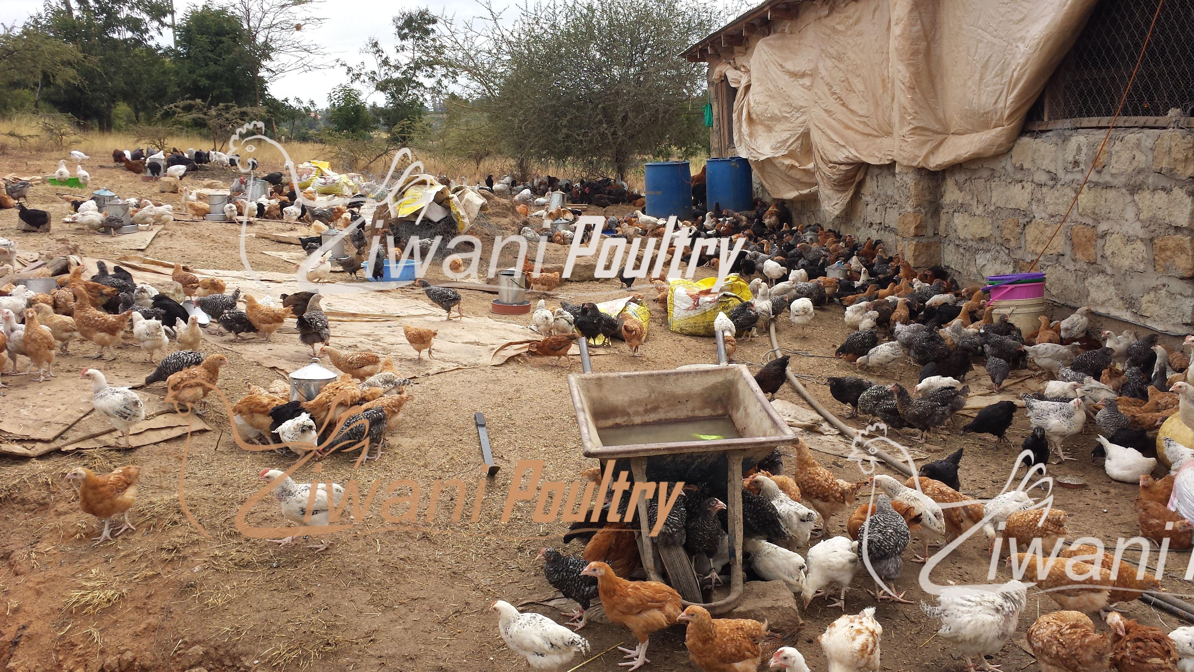 Ziwani Poultry farm - KARI and Kuroiler chicks in Kenya